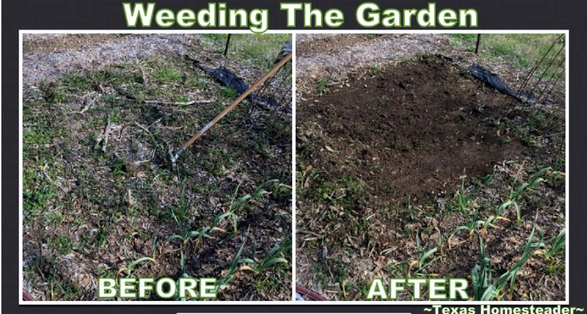 Weeding the garden with a stirrup hoe. Even though it's only February & cold outside, there are still garden chores to be done. Come see how I'm preparing the veggie garden. #TexasHomesteader