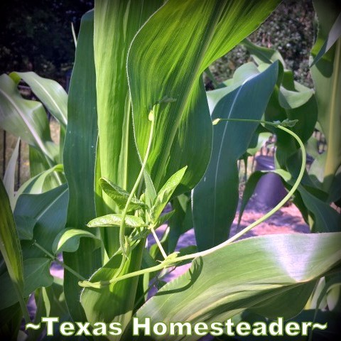 3-sisters garden an example of growing living mulch, with squash vines growing among the corn and beans. #TexasHomesteader