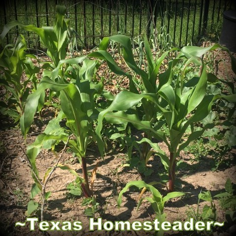 3-sisters garden - corn beans squash. May is typically a great month for the garden. C'mon and walk with me through the veggie garden & let's see what's growing on these days. #TexasHomesteader
