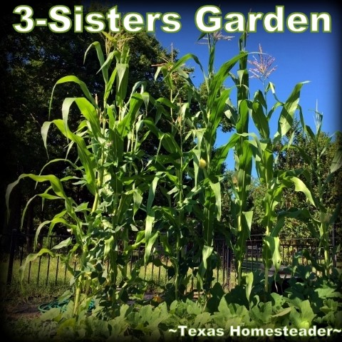 3-sisters garden is an example of living mulch, with squash vines growing among the corn and beans. #TexasHomesteader