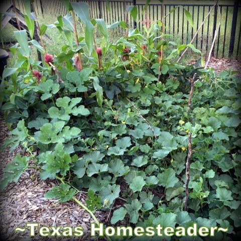 3 Sister's Garden. Corn, beans and squash were planted in the same space. Each plant benefitted the others. #TexasHomesteader
