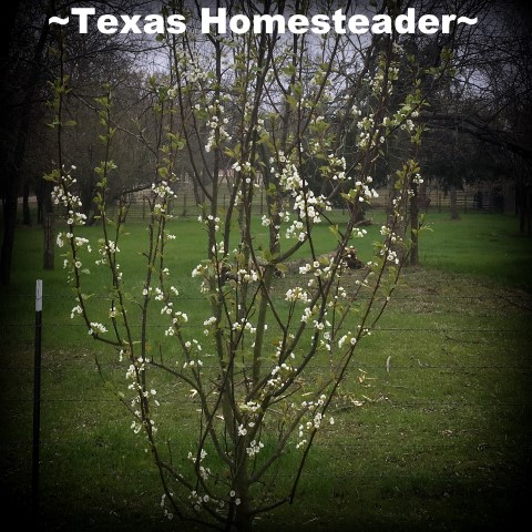 Pear Tree in bloom. April Garden Update. The weather's not cooperating & too cool for my veggie plants. I may have to start over. #TexasHomesteader