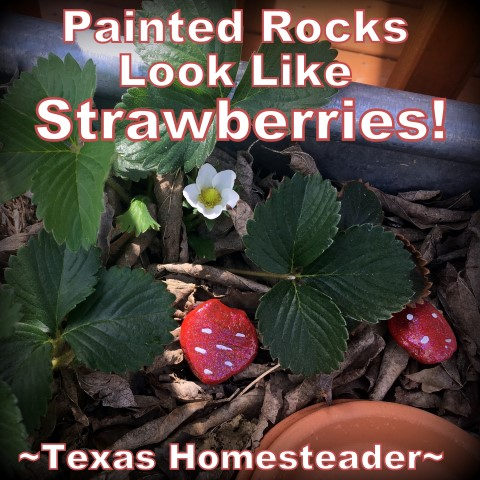 Paint rocks like strawberries to keep birds away from your growing strawberries. My zone 8 vegetable garden is off to a slow start, and some plants succumbed to the February winter storm. But there are many successes as well. Come see! #TexasHomesteader