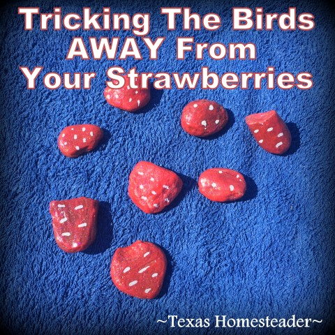 I planted strawberries this year but I need to trick the birds away from eating them before I can harvest. I painted small rocks red to fool the birds. #TexasHomesteader
