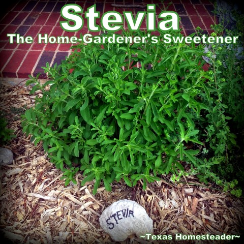 Stevia plant multiplying in April garden. My zone 8 vegetable garden is off to a slow start, and some plants succumbed to the February winter storm. But there are many successes as well. Come see! #TexasHomesteader