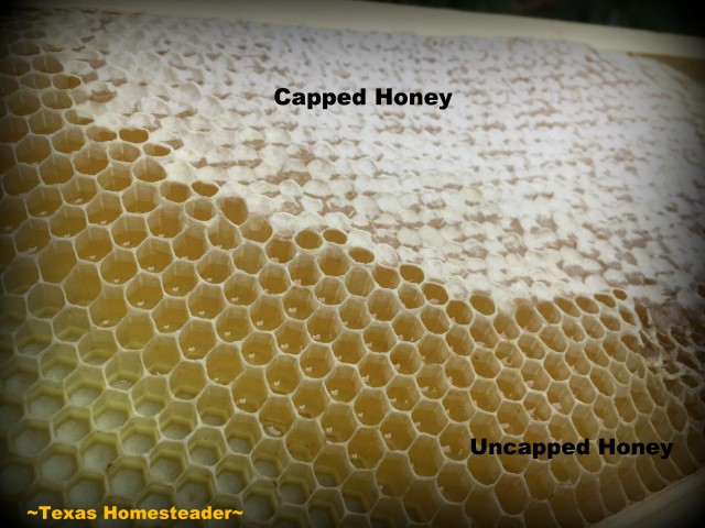 Capped vs. uncapped honey. See how we took our honeybee's honey from hive to glass jars. I share tips about honey moisture monitoring and more. #TexasHomesteader