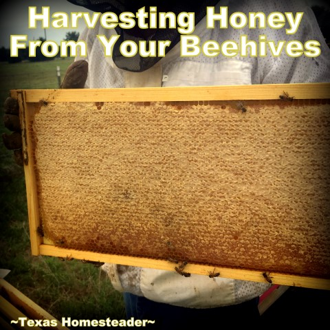 Honey frame. See how we took our honeybee's honey from hive to glass jars. I share tips about honey moisture monitoring and more. #TexasHomesteader