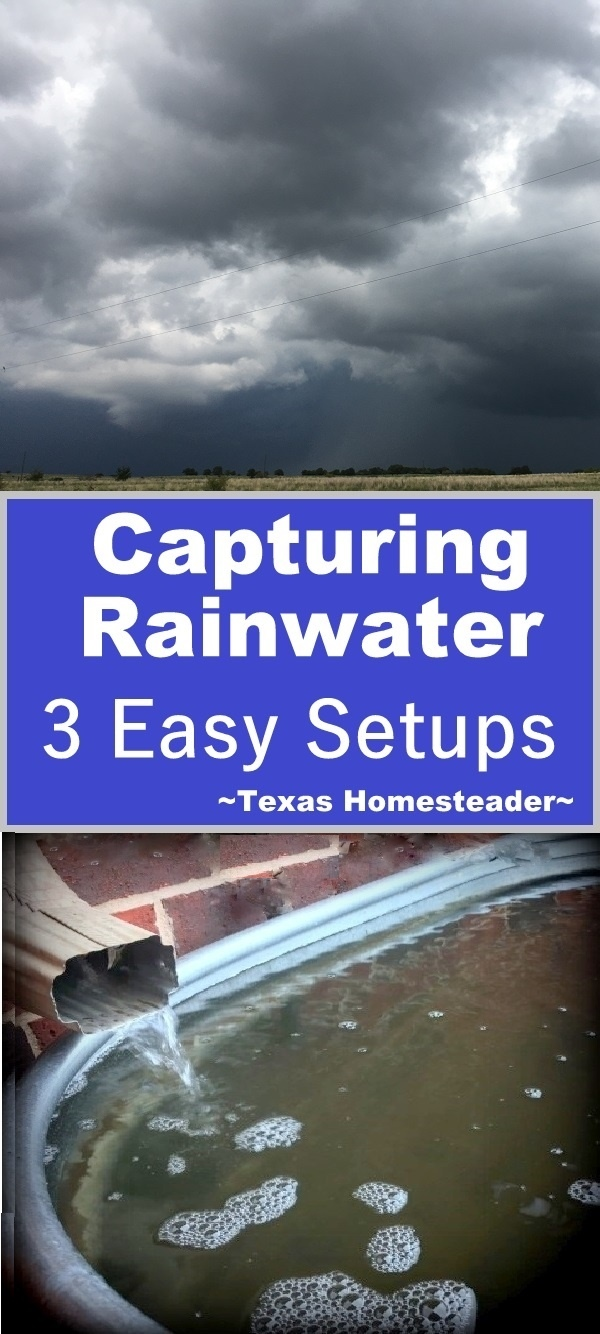 We capture rainwater for all our outside irrigation needs. Come see 3 easy setups we use here on the Homestead. #TexasHomesteader