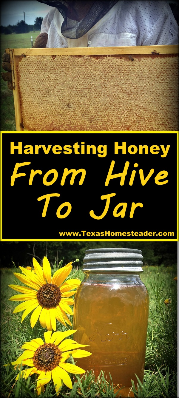 Harvesting honey, from beehive to bottles or jars. #TexasHomesteader
