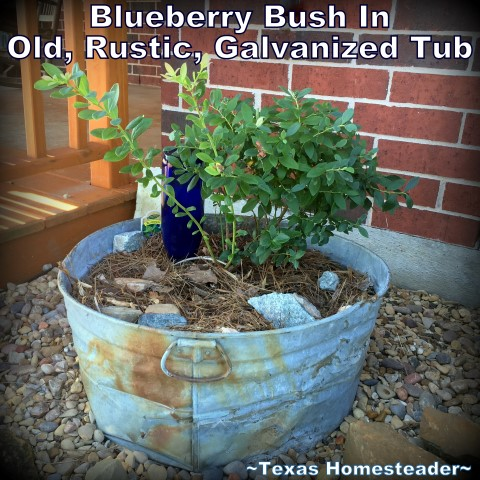 I was able to repurpose an old, rustic, rusted, mishapen galvanized tub to add beauty to our porch landscape. I planted a blueberry in it. #TexasHomesteader