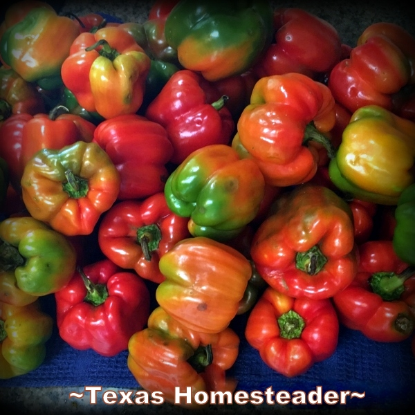 Red bell peppers. August is usually so hot & dry the garden goes dormant. But this year we've had some successes too. Come see! #TexasHomesteader