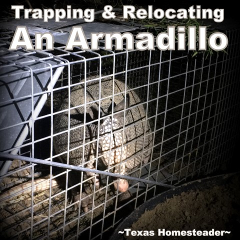 Armadillos are notoriously hard to trap. But we needed to relocate an armadillo from our yard. See what worked for us. #TexasHomesteader