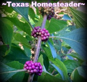 Beauty berry plant with bright purple berries. Come see 5 frugal things we did at our homestead to save the environment and some cold hard cash too during this self isolation period. #TexasHomesteader