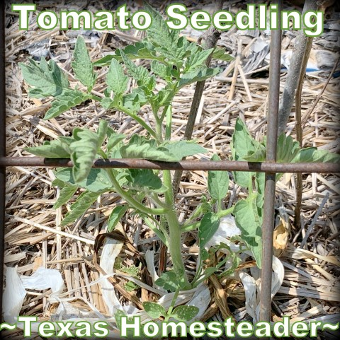 Tomato seedling. Come see my June garden update. I think I've solved the problem of why my garden failed! #TexasHomesteader