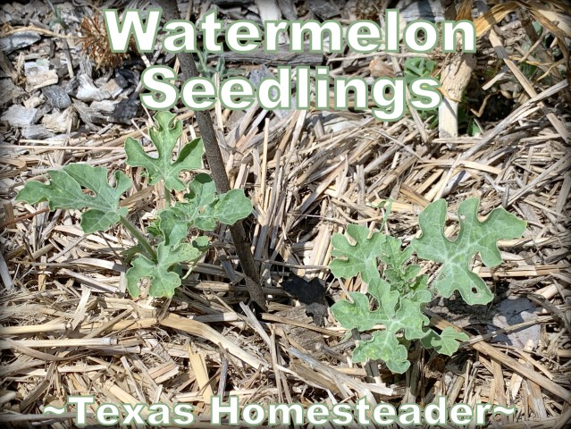 Watermelon seedlings. Come see my June garden update. I think I've solved the problem of why my garden failed! #TexasHomesteader