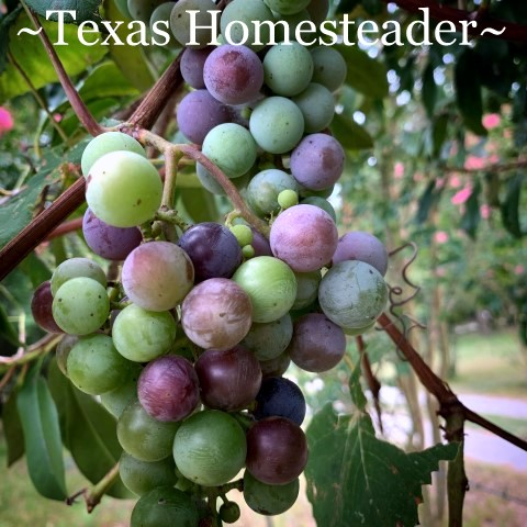 Empty coffee canisters are handy. I've found many ways to repurpose them on the homestead. Come see how they've helped me harvest grapes. #TexasHomesteader
