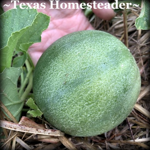 Mini-sized cantaloupe. July Garden. Even with a few surprising struggles this year, I have a few successes. Come see how we're faring here in our zone 8 veggie garden. #TexasHomesteader