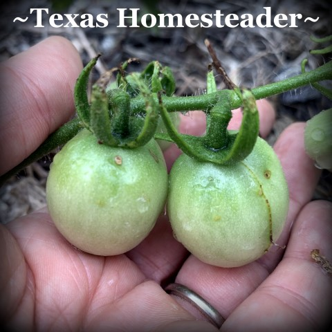 Tomatoes. July Garden. Even with a few surprising struggles this year, I have a few successes. Come see how we're faring here in our zone 8 veggie garden. #TexasHomesteader