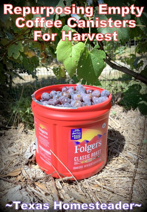 Empty coffee canister to help harvest grapes from the garden. #TexasHomesteader