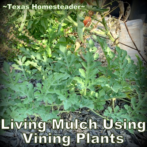Living mulch watermelon vine. A repurposed coffee can can be used for deep soak watering in the garden. It conserves water while allowing water to slowly drip. #TexasHomesteader
