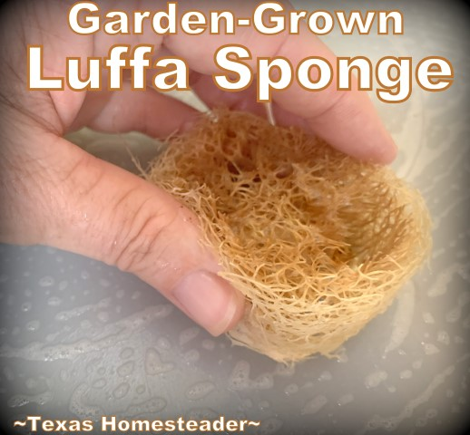 Luffa can scrub clean dishes. You can grow your own luffa sponge in your garden. They're easy to grow, eco friendly and fully compostable. #TexasHomesteader