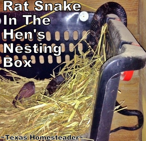 "Rat snake in nesting box eating chicken eggs. Easily capture and relocate a snake, but do it safely. We've found the 47"" snake grabber to be the best tool to relocate snakes safely. #TexasHomesteader"