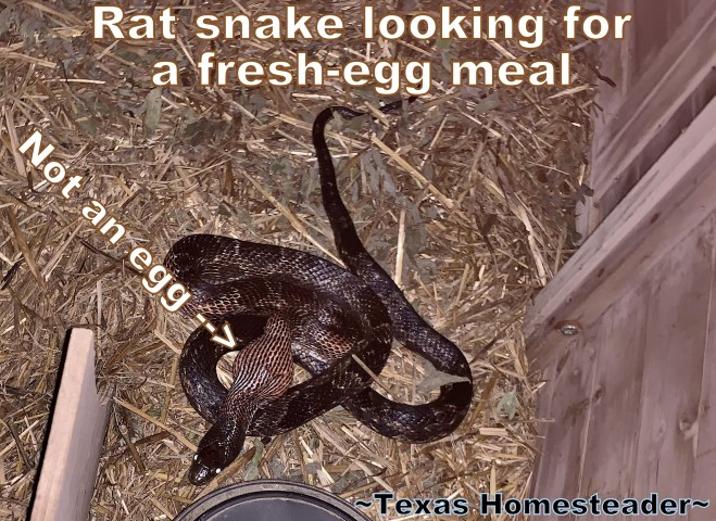 "Rat snake in nesting box eating an egg. Easily capture and relocate a snake, but do it safely. We've found the 47"" snake grabber to be the best tool to relocate snakes safely. #TexasHomesteader"