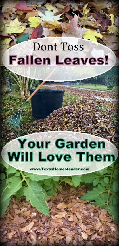 I use leaves for mulch instead of raking and bagging them and sending them to the landfill. There are lots of ways the garden benefits. #TexasHomesteader