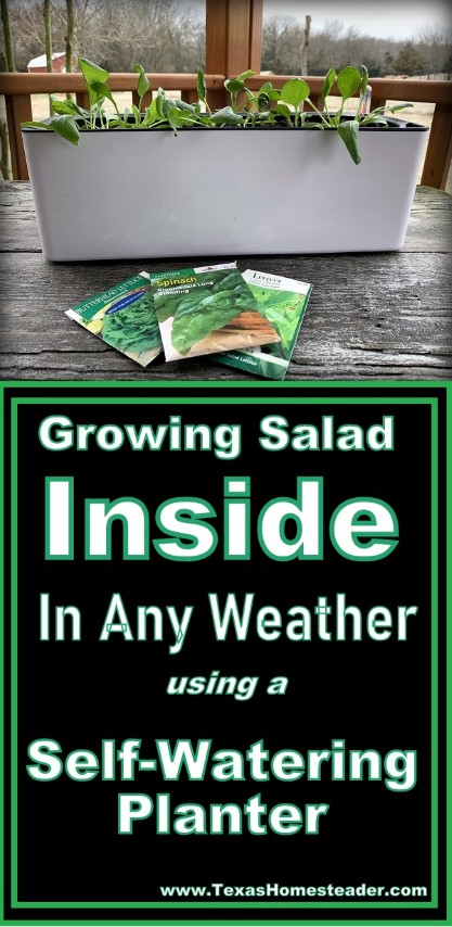 Even in the miserable weather of winter, I'm growing salad greens inside using a self-watering planter pot. Fresh salads at my fingertips! #TexasHomesteader