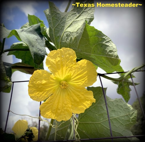Yellow luffa bloom. You can grow your own luffa sponge in your garden. They're easy to grow, eco friendly and fully compostable. #TexasHomesteader
