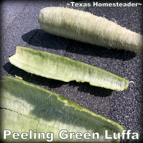 There's a sweet spot when it's super easy to peel luffa. You can grow your own luffa sponge in your garden. They're easy to grow, eco friendly and fully compostable. #TexasHomesteader