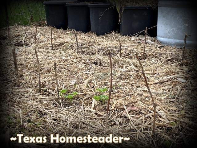 Use sticks or twigs to mark where you've planted seeds in the garden. #TexasHomesteader
