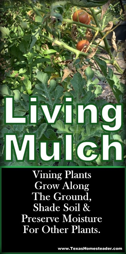 Plant vining plants to grow along the ground in your vegetable garden to provide living mulch (and food!) #TexasHomesteader