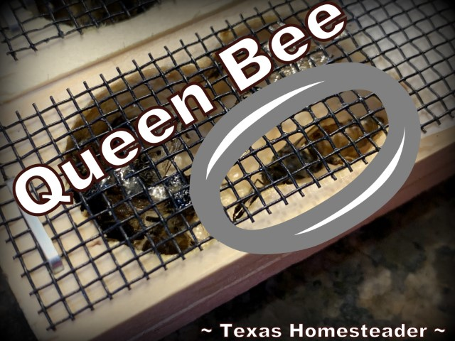 Queen honeybee and nurse bees in wood/wire cage. There are several reasons beekeepers like to requeen their beehive. Recently we made a split and requeened two hive boxes. #TexasHomesteader