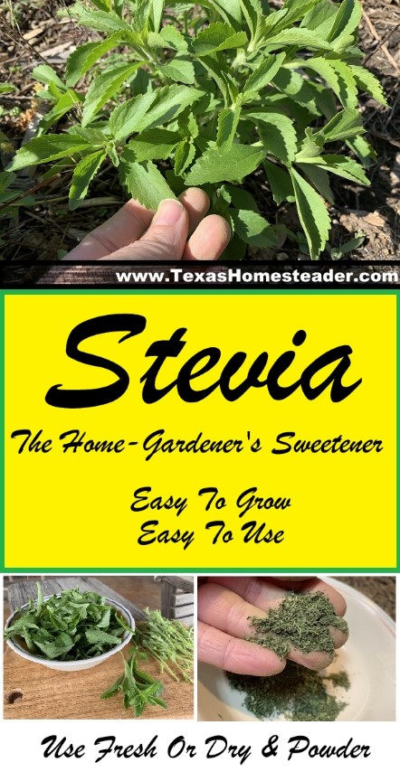 The home gardener's sweetener, and zero calorie too - Stevia is easy to grow and easy to use. #TexasHomesteader
