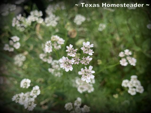 Cilantro flowers turn into coriander seed. #TexasHomesteader