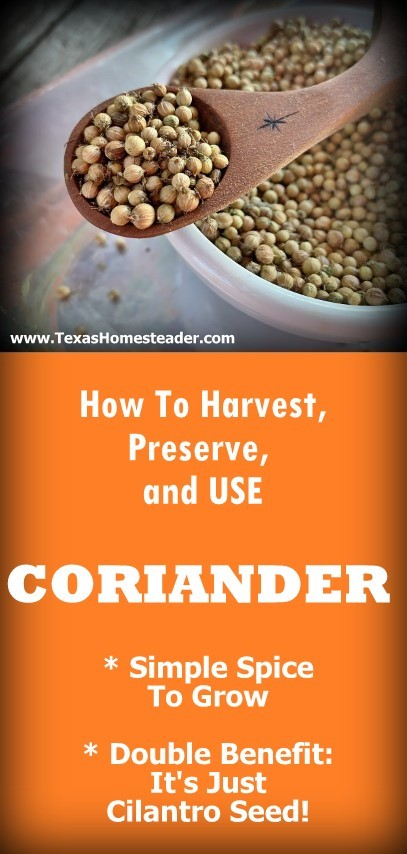 Coriander is simply cilantro seed, and it's used in a completely different way than cilantro. #TexasHomesteader