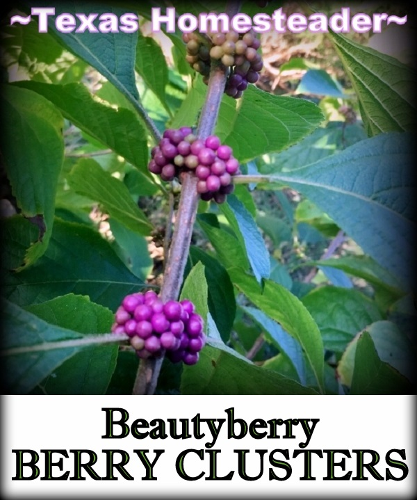 Beautyberry Clusters for natural decoration. #TexasHomesteader
