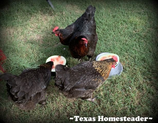 Black Star backyard Chickens eating watermelon. #TexasHomesteader