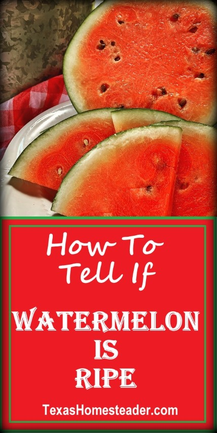 How to tell if a watermelon is ripe. There are several clues to look for. #TexasHomesteader