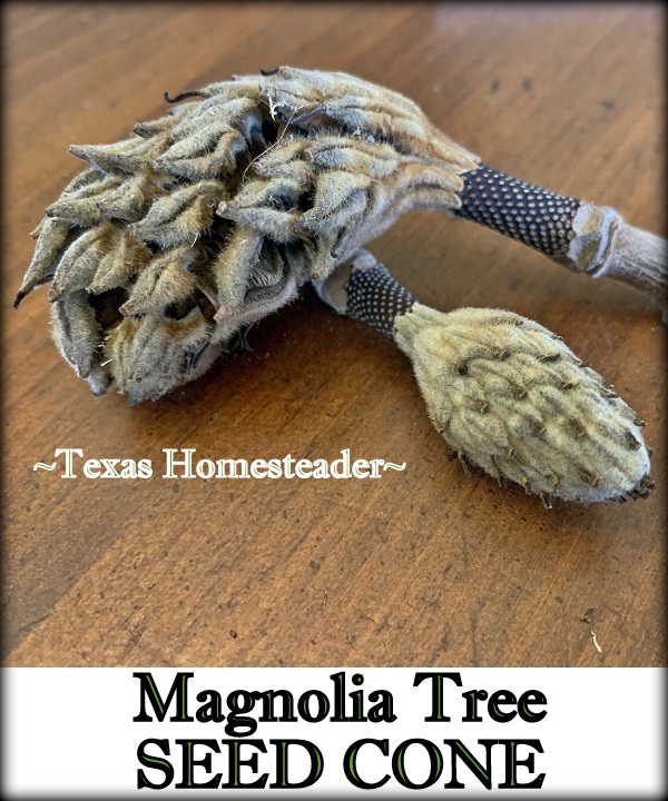 Magnolia tree seed cones for natural decoration. #TexasHomesteader