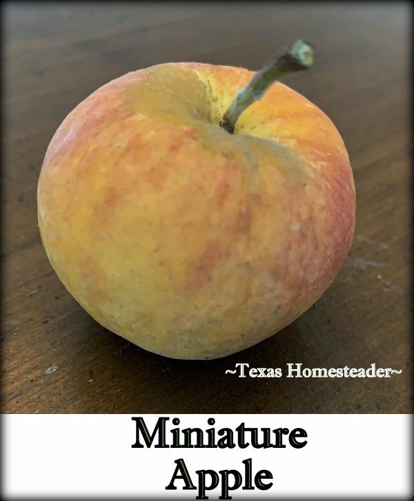 Miniature apple for natural decoration. #TexasHomesteader