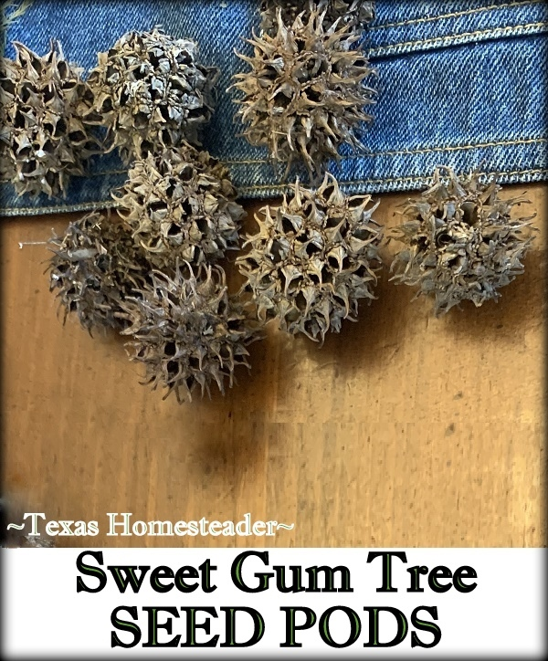 Seed pods from Sweet Gum tree for natural decoration. #TexasHomesteader