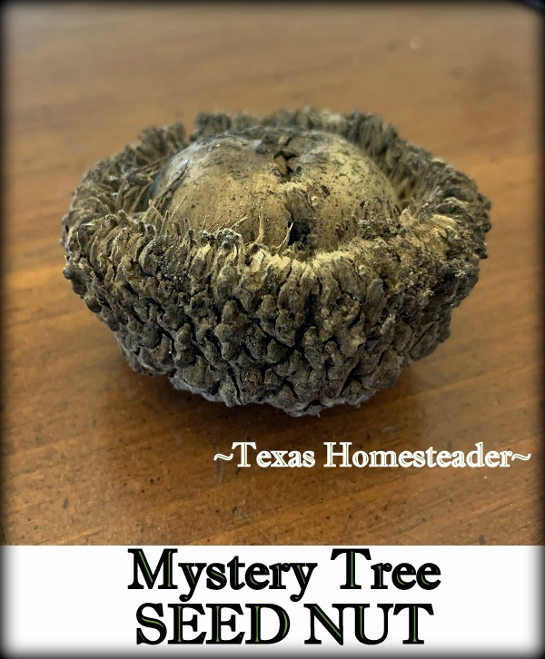 Mystery Tree seed for natural decoration. #TexasHomesteader