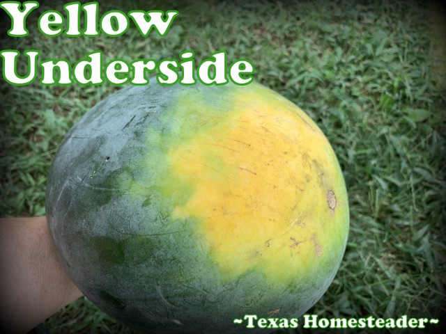 Bright yellow underside of water is indication for ripe melon. #TexasHomesteader